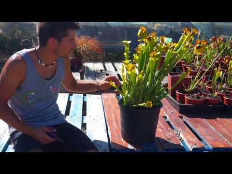Carniplant-Plantas carnivoras-Cultivo de Sarracenia flava en verano