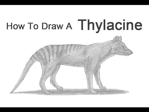 how to draw a tasmanian tiger thylacine youtube