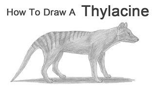a tasmanian tiger drawing lesson