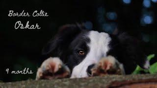 Dog tricks & fun by Border Collie Oskar  (9 months)