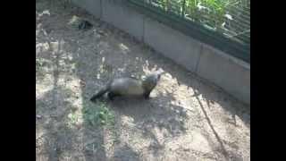 Iltis erbeutet eine Ratte und trägt sie in seine Unterkunft