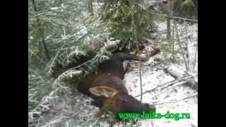 Охота с молодой Западно-Сибирской Лайкой