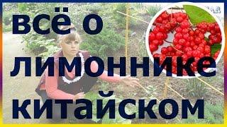 ЛИМОННИК китайский посадка выращивание уход вредители болезни подкормка размножение лимонник