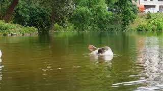 Знакомьтесь, лебеди-полноправные хозяева лебединого озера!, Аnimals,Tiere