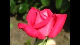 видео Роза Травиата: фото, описание и отзывы