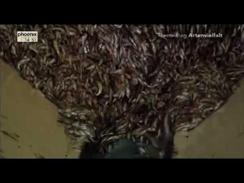 LACHSFIEBER: Wie der WWF das Sterben der Meere unterstützt Marine Harvest