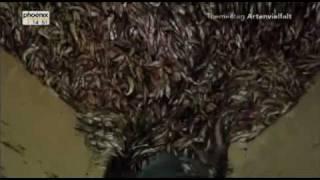 Verlogene Welt:   Wie der WWF das Sterben der Meere unterstützt (Marine Harvest)