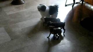Micro Mini Pinschers, Shih Tzu And Maltese Chihuahua Playing