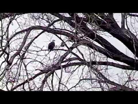Bald Eagle Spotting in the city. Omaha, NE