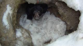 Extrait de tournage - Ours noir se réveille de sa tanière après hibernation