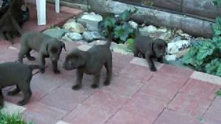 Labmaraner Pups Born 6-4-10 Labrador/ Weimaraner Mix