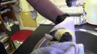 Asistencia Parto De Bull Terrier - Bullcal Altamira