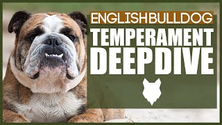 Everything You Need To Know  ENGLISH BULLDOG TEMPERAMENT