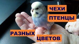 Чехи Птенцы Разных окрасов