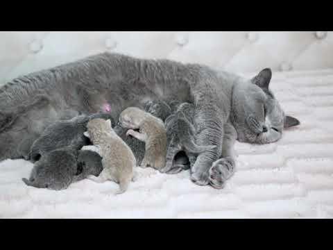 Британские котята в возрасте 1 день (Litter-М2)