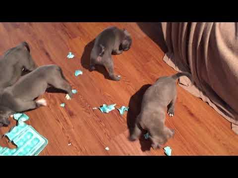 XL Pitbulls puppies playing