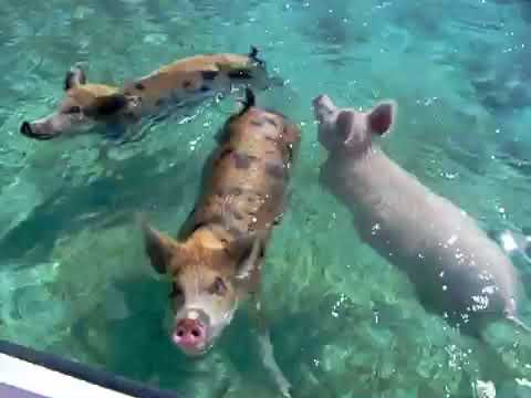 Big Major Cay and the Swimming Pigs of the Exhumas