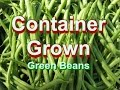 Green Beans Grown in Containers