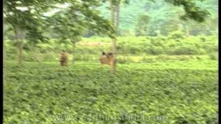 Forest officers searching for wild elephants in Assam's tea gardens
