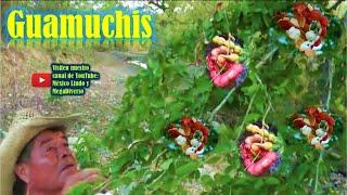 Gambar cover Cortando GUAMUCHIS rica fruta en la Mixteca Oaxaca 🌳