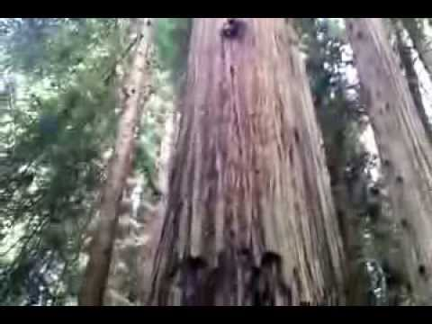 A Glance into the Canopy at Sequoia Park Forest