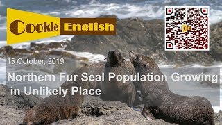 Listen English - Northern Fur Seal Population Growing in Unlikely Place