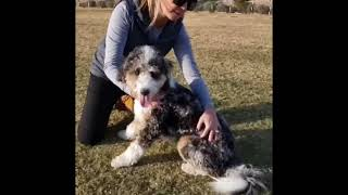 How To: At Home Care & Maintenance of your Aussiedoodle!
