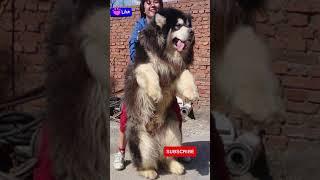 Biggest Dog Giant Alaskan Malamute
