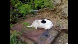 Собака без головы