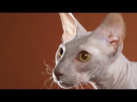 Peterbald - cat breed