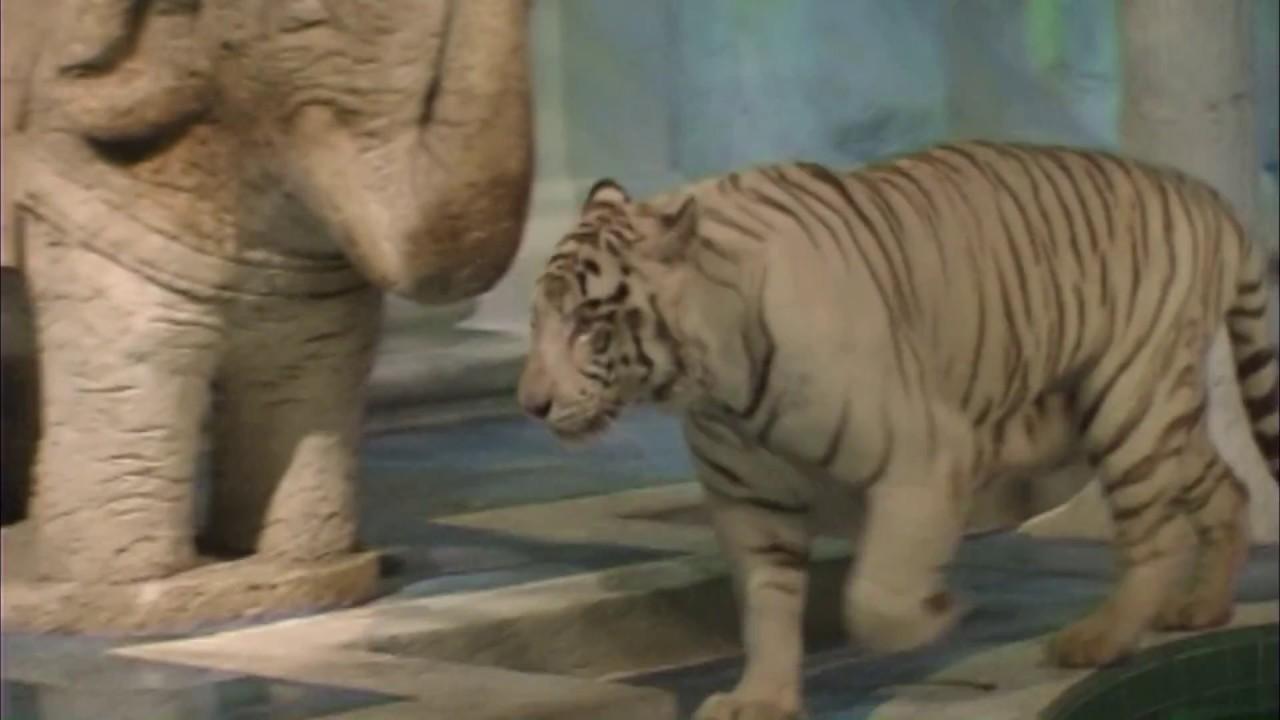 White Tiger Habitat at the Mirage in Las Vegas - YouTube
