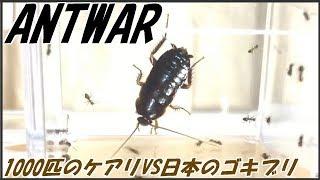 蟻戦争Ⅱ#115 1000匹のケアリVS日本のゴキブリ~黒光りの例のアイツ~編~1000ants VS japanese cockroach~