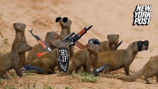 Mongoose gangs fight to the death   New York Post