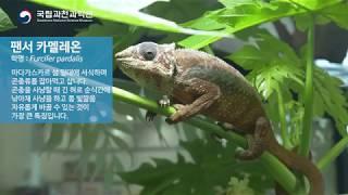 특별전 [양서파충류] 팬서 카멜레온