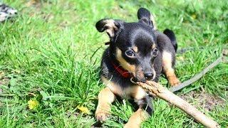 Как отучить собаку грызть вещи?