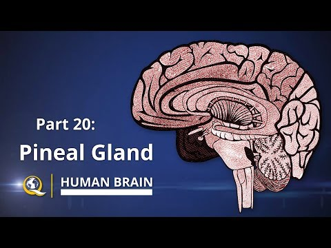 Pineal Gland - The Gateway to Expanded Consciousness - The Human Brain Series - Part 20