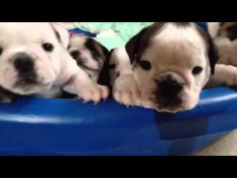 English Bulldog Puppies 6 Weeks Old