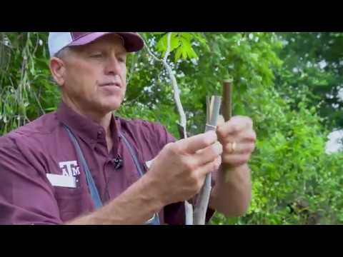 Banana Graft (4 Flap Graft) Method by Texas A&M AgriLife Extension