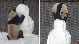 Face-Planting Panda Won