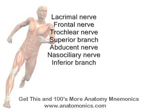 superior orbital fissure structures passing through mnemonic - youtube, Human Body
