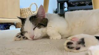 上機嫌で幸せそうに寝る猫