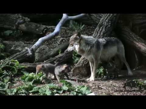 Wolf Pups Emerge from Den!