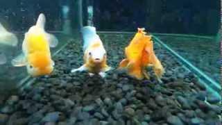 SeaWorld Indonesia - Gold Fish