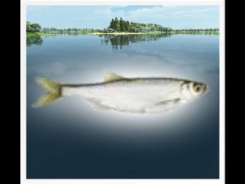 уклейка на что ловить трофейная рыбалка