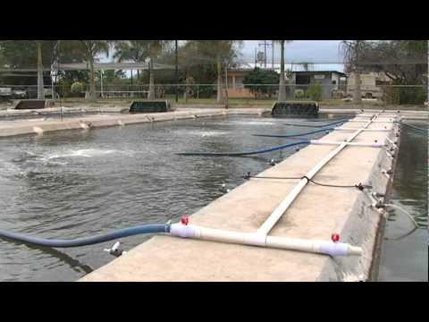 Idiaf acuicultura producci n tilapias en jaulas flotant for Construccion de jaulas flotantes para tilapia