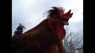 Kury na płocie