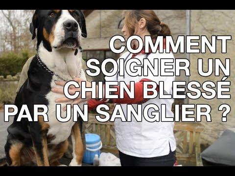 Comment soigner un chien bless par un sanglier les - Comment cuisiner un gigot de sanglier ...