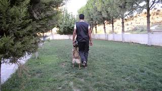 Simba-k9 Dog Sport&dog Training Services
