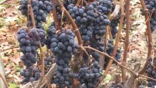 New York grapes go to waste