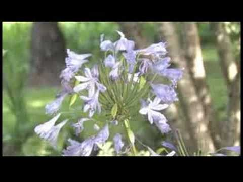 Gardening Tips How To Grow Lily Of The Nile Agapanthus